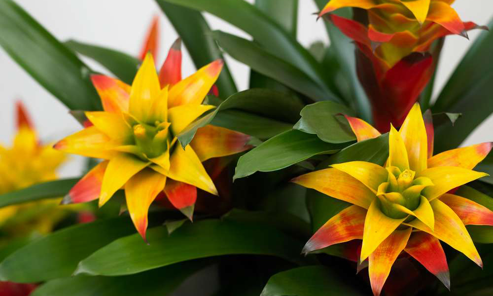 bromelia flower nature and garden - Formula Media Tanam Bromelia yang Benar, Agar Tumbuh Optimal